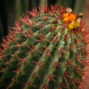 a cactus typical of morocco